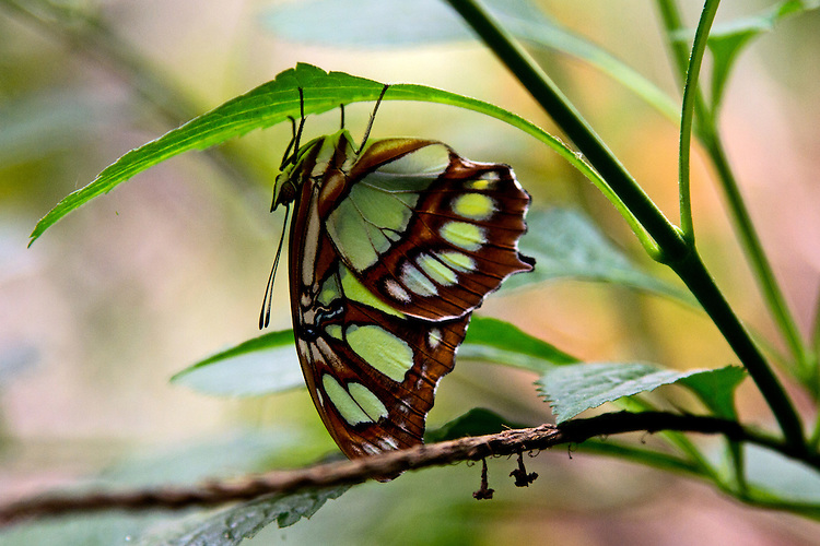 A Malachite butterfly puched upside down on thin, green leaf clearly outlined against a pastel background.