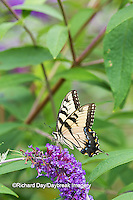 03023-02806 Eastern Tiger Swallowtail Butterfly (Papilio glaucus) male on Butterfly Bush (Buddleia davidii) Marion Co., IL