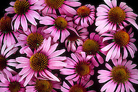 Bouquet of Echinacea purpurea or coneflower a medicinal plant and garden favorite, Vermont USA