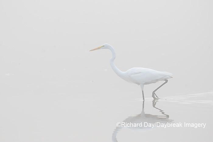 00688-02214 Great Egret (Ardea alba) in wetland in fog, Marion Co., IL