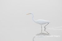 00688-02214 Great Egret (Ardea alba) in wetland in fog, Marion Co., IL