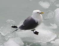 Black-legged kittiwake in breeding plumage standing on ice from glacier