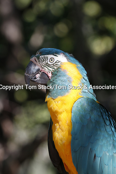 Blue and Gold Macaw, a South American parrot.