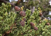 Pinecones - Bristlecone Pines on Mt. Evans Colorado