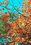 Red Orange leaves in autumn Commonwealth of Virginia, Fine Art Photography by Ron Bennett, Fine Art, Fine Art photography, Art Photography, Copyright RonBennettPhotography.com ©