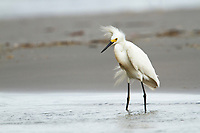 Oiled adult Snowy Egret (Egretta thula) foraging in shallow coastal water. Jefferson Parish, Louisiana. July 2010.