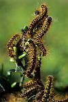 Tent caterpillars climbing to the top of a bush Marysville Washington  USA.