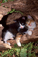 Two kittens curled up in hollow log resting, USA