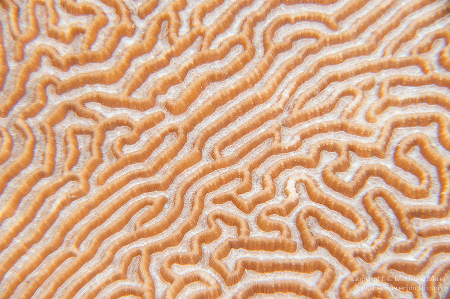 Misool, Raja Ampat, Indonesia; a detailed view of the channels on a large brain coral colony