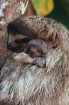 Three-toed sloth and infant, Panama