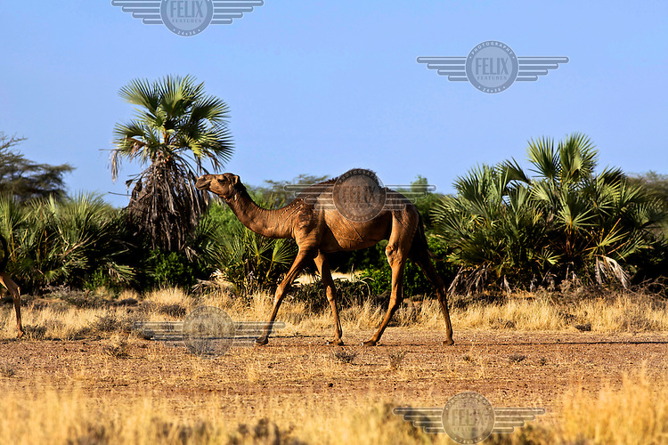 A camel walks in the heat of the day near the village of Kache Imeri. Northern Kenya is in the midst of a severe drought, and in the absence of safe drinking water and food, pastoral tribes are extremely vulnerable to disease and famine.