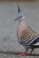 Crested Pigeon (Ocyphaps lophotes lophotes) foraging in Rymill Park in Adelaide, South Australia.