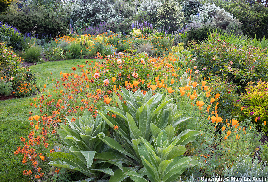 Indianola, WA: Summer perennial garden featuring verbascum, orange poppies, roses, euphorbia and lupine
