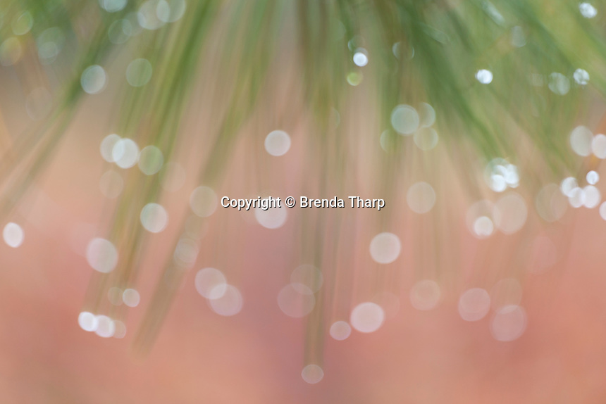 An out of focus impression of waterdrops hanging on pine needles.