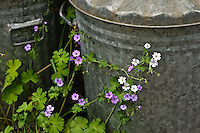 White and pink wood cranesbill - geranium sylvaticum - growing by the dustbins.??British native wild flower species.??Flowers in College Road garden.??Date Taken: 30/05/10??Location: College Road garden??Commissioned by: Paul