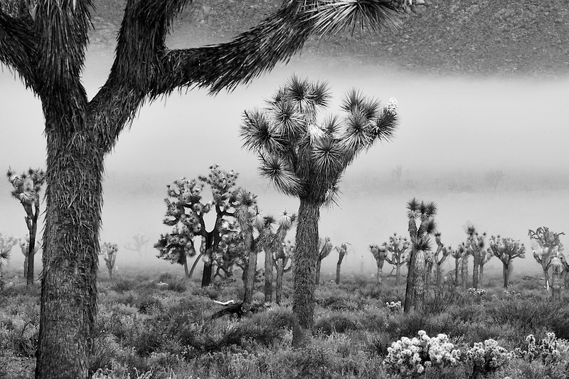 Joshua trees in fog. Joshua Tree National Park, California