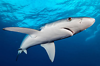 Blue Shark, Prionace glauca, close up with a good view of the details of the shark and the surface with dark blue background, offshore, Cape Point, Cape Town, False Bay, South Africa, Atlantic Ocean, Indian Ocean