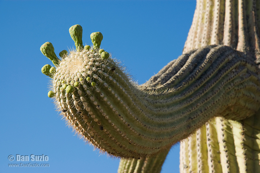 Buds of saguaro, Carnegiea gigantea, Saguaro National Park, Arizona