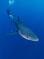 WQ0668-Dv. A Blue Shark (Prionace glauca) glides through clear, blue water. Hanging on weighted lines beneath the boat, scuba divers are treated to close approaches by a curious 7 foot long blue shark attracted to the area by a small amount of bait. Seamounts off Pico and Faial Islands offer some of the best blue shark dives on the planet. Azores, Portugal, Atlantic Ocean.<br /> Photo Copyright © Brandon Cole. All rights reserved worldwide.  www.brandoncole.com