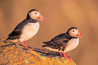 Atlantic puffin, or common puffin, Fratercula arctica, at sunset, Latrabjarg, Westfjords, or West Fjords, Iceland