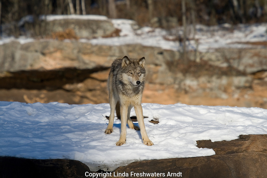 Lone wolf (Canis lupus) standing on snow-covered rock