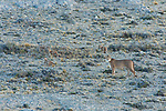 A trio of Puma kittens play on the rocky terrain while their mother keeps watch in Patagonia, Chile.