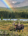 Bull moose in velvet with rainbow. Roosevelt National Forest, Colorado.