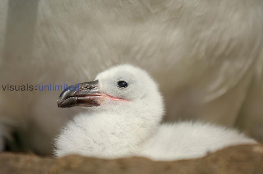 Black-browed Albatross chick in the nest (Diomedea melanophris), Falkland Islands.