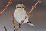Northern Shrike (Lanius excubitor) perched on a branch, Toronto, Ontario, Canada.