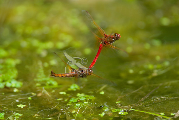 Male Cardinal Meadowhawk (Sympetrum illotum) towing female during mating activities.  Pacific Northwest.  Summer.  Female is resting for a second between egg laying.