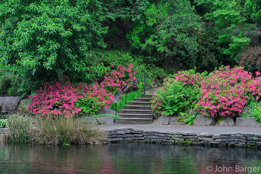 ORPTC_D164 - USA, Oregon, Portland, Crystal Springs Rhododendron Garden, Blooming azaleas and ferns along walkway above Crystal Springs Lake.
