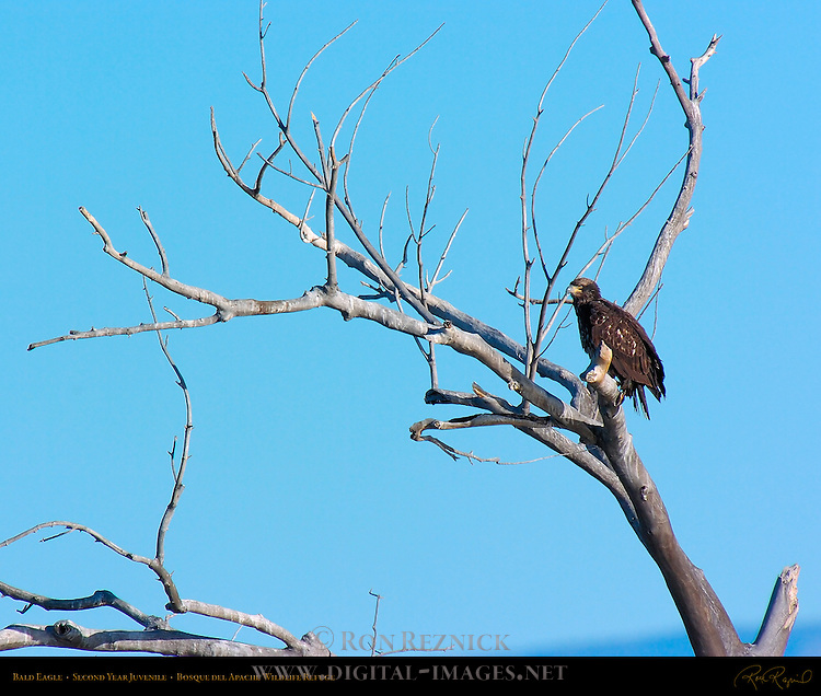 Bald Eagle 2nd Year Juvenile, Bosque del Apache Wildlife Refuge, New Mexico