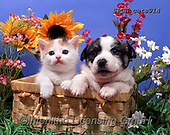 Xavier, ANIMALS, REALISTISCHE TIERE, ANIMALES REALISTICOS, cats, photos+++++,SPCHCATS914,#a#, EVERYDAY