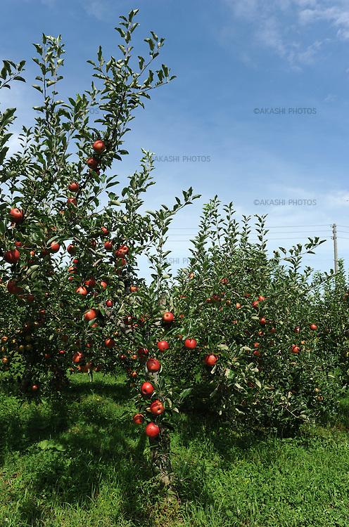 Tsugaru apples in Hirosaki. Aomori Prefecture. Japan.