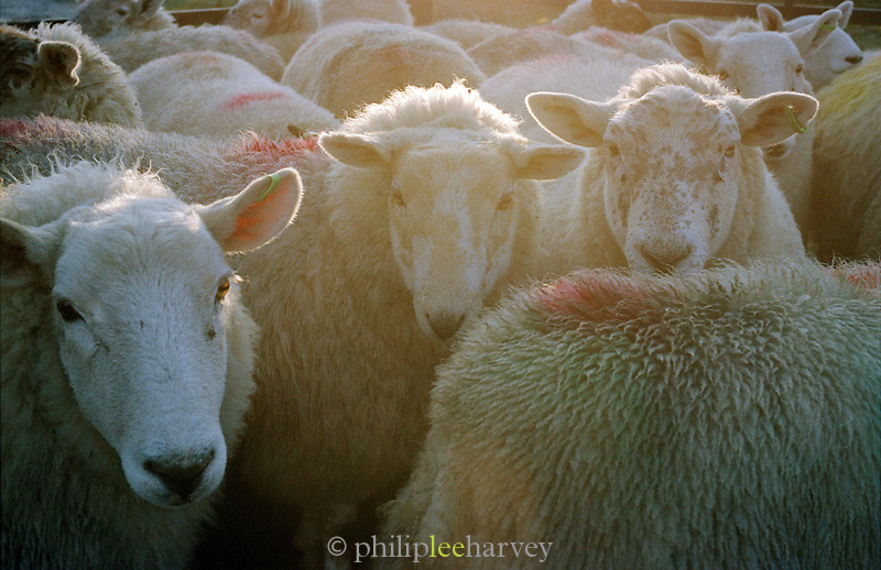 Flock of sheep held in a farmers pen, Connemara, Ireland