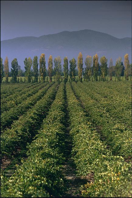 Vineyard on Silverado Trail with Lombardy poplar trees