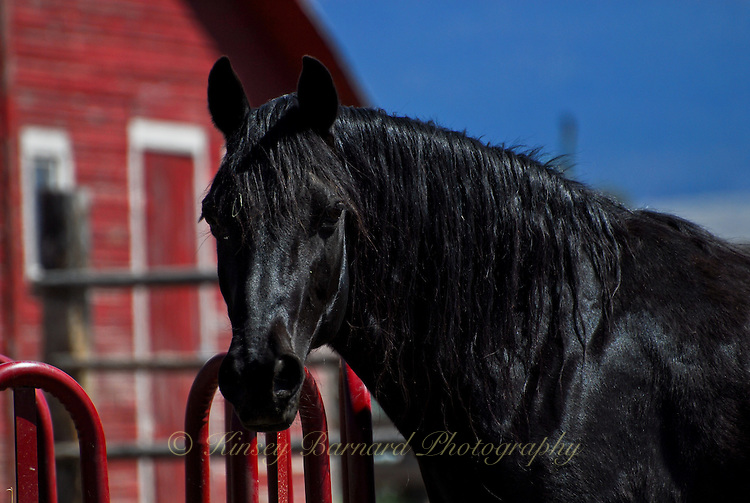 Black gelding with a red barn in the background.