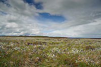 Cotton grass, Hexham, Northumberland.