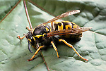 European Yellowjacket wasp, Vespula germanica