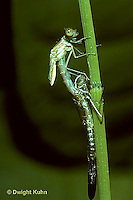 1O12-013z  Damselfly - adult emerging from nymph skin, spread-winged damselfly - Lestes spp.