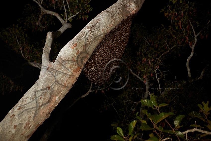 Hanging on a branch, a swarm of Apis Dorsata bees (mwonji) has built its comb. The branches of the lalaus are cleared of climbing plants and other epiphytes by the climbers to facilitate their movements but also to give more nesting space to the bees. ///Accroché à une branche, un essaim d'abeilles Apis Dorsata (mwonji) a construit son rayon. Les branches des lalau sont nettoyées des plantes grimpantes et autres épiphytes par les grimpeurs pour faciliter leurs mouvements mais aussi pour donner plus de surface de nidification aux abeilles.