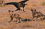 Hooded Vulture, Wild Dog, Lycaon pictus, Kwando, Botswana