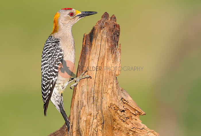 Male Golden-Fronted Woodpecker perched on dead stump