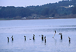 cormorants at Bolinas Lagoon