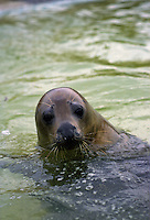 Seal at National Seal Sanctuary, Gweek in Helford Estuary, Cornwall, United Kingdom.