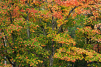 Sugar maple trees (Acer saccharum) with red autumn foliage in Algonquin Provincial Park, northern Ontario, Canada.  The Sugar Maple is the national tree of Canada.