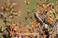 00787-00315 Sharp-shinned Hawk (Accipiter striatus) immature female   CO
