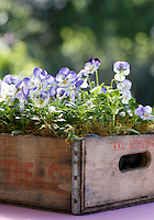 An old wooden crate is an effective container for a display of purple pansies