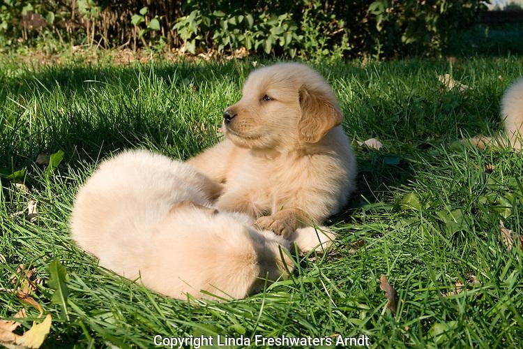 Golden retriever (Canis familiaris) puppy (ies)