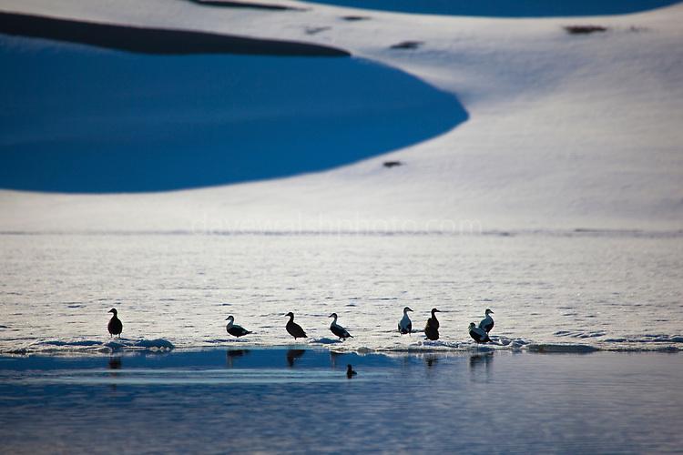 Common Eider ducks, near the trapping station at Musham]]]na, Woodfjorden, Svalbard